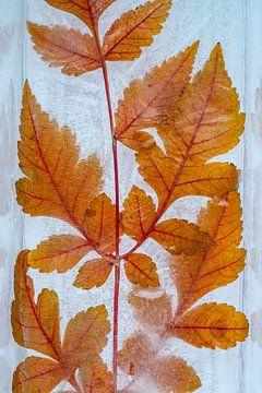 Herbstlaub in Wasser gefroren. von Wilfried-Reinhard Köhn