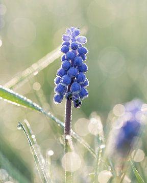 Blaue Trauben von Kim Meijer