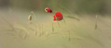 Zerbrechlichkeit der Klatschmohn Blüte von Tanja Riedel