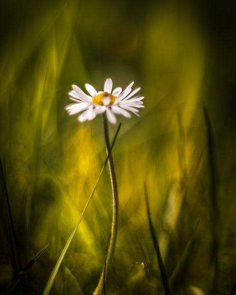 Lonely Daisy von Marcus Lanz