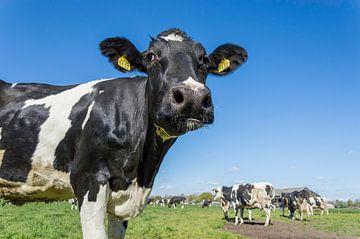 Koeien voor het eerst in de wei von Elbertsen Fotografie