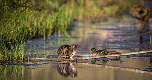 Kat en eend voelen zich als een vis in het water