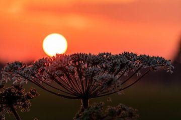 Sonne ruht auf Pflanze (untergehende Sonne) von Devlin Jacobs