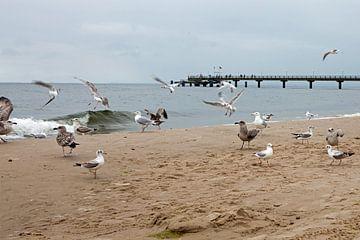 Ostsee - Möwen am Strand von Bansin (Insel Usedom) von t.ART