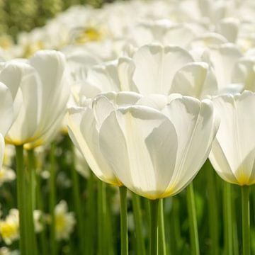 Weiße Tulpen von Nederland op Foto
