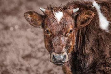 Friese roodbont koe uit IJlst van Wout Kok