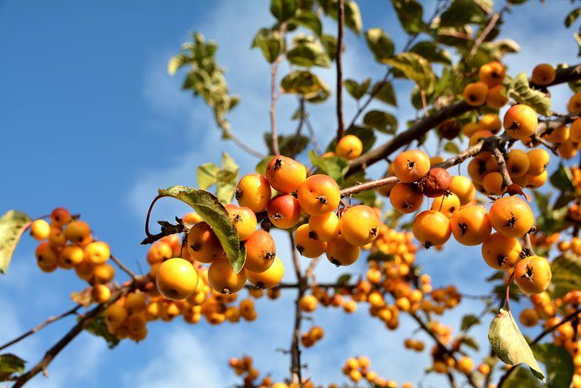 Rijp fruit van een sierappelboom langs de weg van Heiko Kueverling