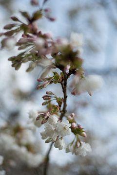 Prunusblüte von Lisette van Gameren