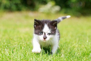 Een jong katje loopt haar eerste pasjes over een grasveld van Henk van den Brink