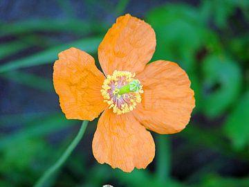 Oranje bloem van Frank Kleijn