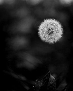 Schwarzer und weißer Löwenzahn / Blume von Dave Oudshoorn