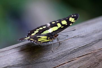 Vlinder op een stuk hout 2 van Klaase Fotografie