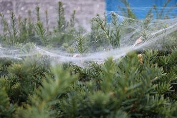 spinnenweb in heg van Rosalie Broerze