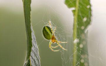 Une araignée dans une toile d'araignée sur lichtfuchs.fotografie