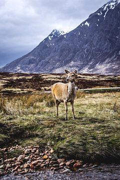 Hert in de Schotse hooglanden von Nick Chesnaye