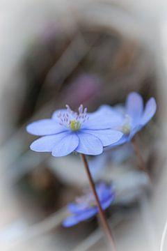 Alpenbloem Hepatica Nobilis van Mariette Alders