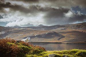 Een schaap in Schotland zijn