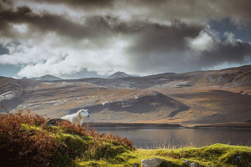 Een schaap in Schotland zijn van Fenna Duin-Huizing