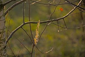 Bloeiend fakkelgras en de takken van een kale berk