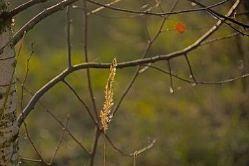 Blühendes Fackelgras und die Zweige einer kahlen Birke von Kristof Lauwers