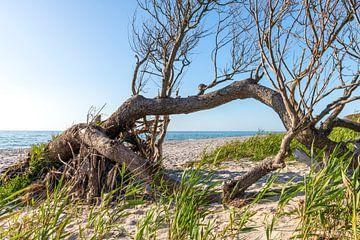 Alte Baumwurzel liegt verwittert auf einem Sandstrand mit blick auf das Meer von