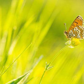 Golden Melitaea cinxia van Francois Debets