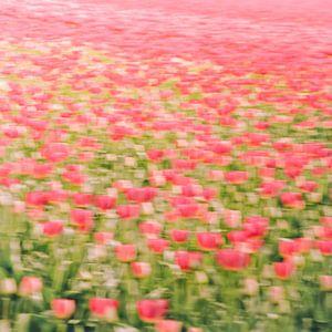 Tulpenveld van
