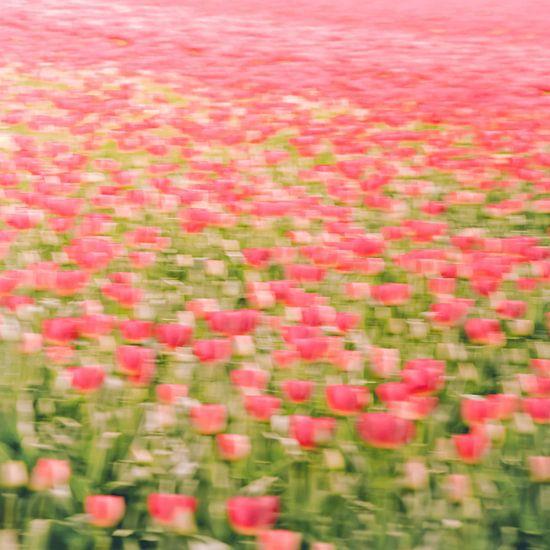 Tulpenveld