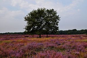 Blühendes Heidekraut in der Veluwe