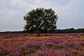 Blühendes Heidekraut in der Veluwe von Robin Verhoef