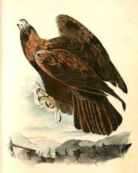 Adelaar, Golden Eagle., Audubon, John James, 1785-1851 van Liszt Collection