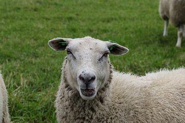 schaap schapen weiland van Frans Versteden