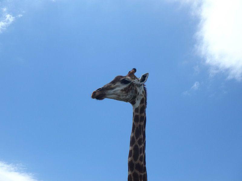 Giraffe hoofd
