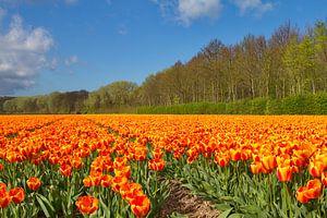Tulpen bij de Noordwijkse duinen in de Bollenstreek