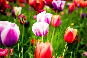 Kleurrijke tulpen in grasveld in Amsterdam van Christine van Rooijen