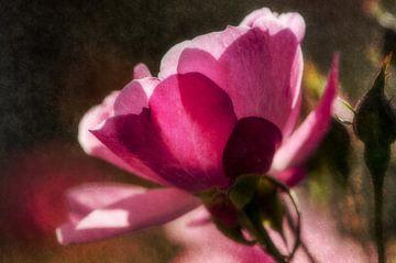 Rose im Morgenlicht von Nicc Koch