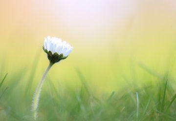 Gänseblümchen von Milou Hinssen