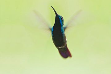 Zwartkeelmango in vlucht, Brazilië  von Wilfred Marissen