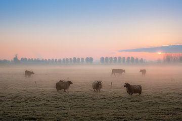Schapen in de vroege ochtend van Moetwil en van Dijk - Fotografie