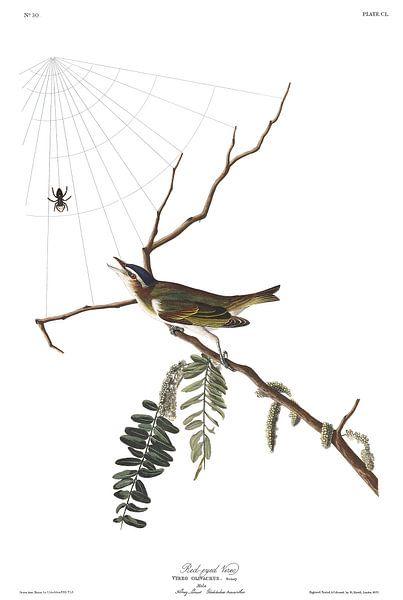 Roodoogvireo van Birds of America