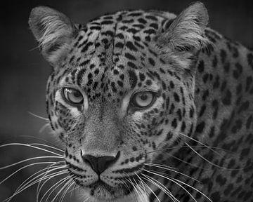 Leopard te regarde d'un air perçant en noir et blanc. sur Patrick van Bakkum