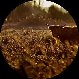 Schotse Hooglanders in het Wild van Erwin Plug