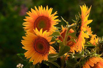 Sonnenblumen von Thomas Jäger
