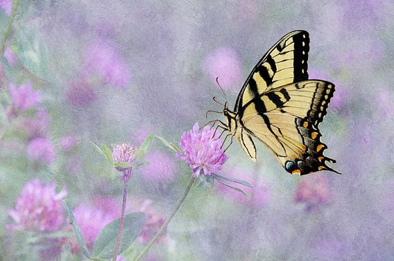 Swallowtail Vlinder Op Paarse Klaverbloemen