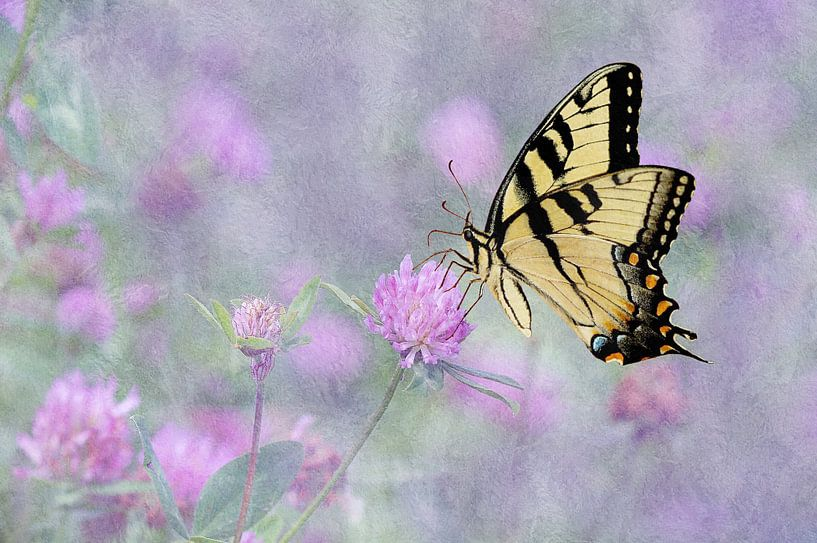 Swallowtail Vlinder Op Paarse Klaverbloemen van Diana van Tankeren
