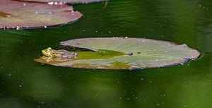 Ruhender Frosch. von