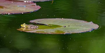 Ruhender Frosch. von Marcel Pietersen