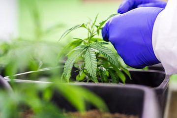 CBD - Cannabis - Hennep - Cannabis - Hennep van Felix Brönnimann