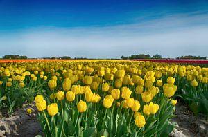 Gele tulpen van Sandra de Heij