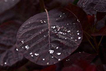 donkerrode bladeren in de regen. prachtige donker rode bladeren waar de regendruppels heel mooi op  von foto-fantasie foto-fantasie